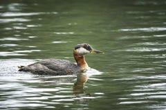 Ερυθρόλαιμο grebe που κολυμπά στη λίμνη Στοκ εικόνα με δικαίωμα ελεύθερης χρήσης