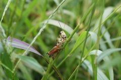 Ερυθρόποδο Grasshopper (femurrubrum Melanoplus) στοκ εικόνα