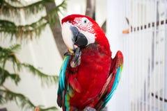 Ερυθρός παπαγάλος που τρώει τα φρούτα Στοκ Εικόνες