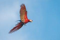 Ερυθρός παπαγάλος Macaw Στοκ εικόνα με δικαίωμα ελεύθερης χρήσης