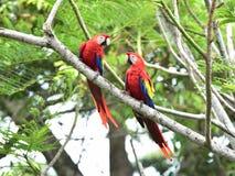 Ερυθρό δέντρο macaws, corcovado, Κόστα Ρίκα Στοκ Φωτογραφία
