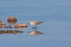 Ερυθρόλαιμο πουλί ορίου [ruficollis Calidris] Στοκ φωτογραφίες με δικαίωμα ελεύθερης χρήσης