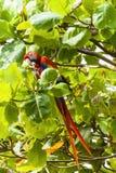 Ερυθρό κατανάλωση macaw, Ara Μακάο ή Arakanga Στοκ φωτογραφία με δικαίωμα ελεύθερης χρήσης
