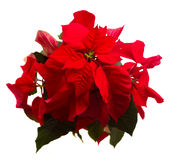 Ερυθρό λουλούδι poinsettia ή αστέρι Χριστουγέννων Στοκ Εικόνες
