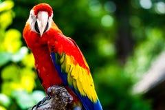 Ερυθρό πουλί παπαγάλων Macaw Στοκ Εικόνες