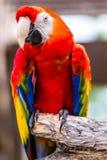 Ερυθρό πουλί παπαγάλων Macaw Στοκ Φωτογραφίες