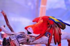 Ερυθρό πουλί Macaw στο θολωμένο υπόβαθρο Στοκ εικόνες με δικαίωμα ελεύθερης χρήσης