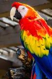 Ερυθρό πουλί Macaw Στοκ εικόνα με δικαίωμα ελεύθερης χρήσης
