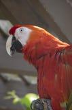 Ερυθρό πουλί Macaw Στοκ φωτογραφίες με δικαίωμα ελεύθερης χρήσης