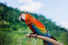Ερυθρό υπόβαθρο φύσης macaw υπαίθρια που στηρίζεται σε ένα ραβδί Στοκ φωτογραφία με δικαίωμα ελεύθερης χρήσης