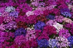 Ερυθρό, χλωμό κόκκινο, βαθιά μπλε, ήσυχα κομψά, πορφυρά και άσπρα λουλούδια Στοκ Φωτογραφίες