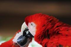 Ερυθρό ararauna Macaw Ara πουλιών Macaw Στοκ Φωτογραφίες