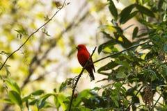 Ερυθρό finch, sipahi Carpodacus, Mandal, Uttarakhand, Ινδία στοκ φωτογραφίες με δικαίωμα ελεύθερης χρήσης