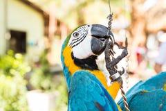 Ερυθρό Macaw, παπαγάλος Ara Μακάο Στοκ εικόνες με δικαίωμα ελεύθερης χρήσης