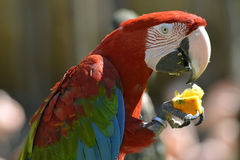 Ερυθρό macaw πορτρέτου που τρώει τα φρούτα Στοκ φωτογραφία με δικαίωμα ελεύθερης χρήσης