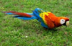 Ερυθρό Macaw στο έδαφος Στοκ Φωτογραφίες