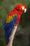 Ερυθρό macaw Στοκ Εικόνα