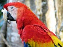 Ερυθρό Macaw Στοκ Φωτογραφία