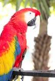 Ερυθρό macaw Ara Μακάο ένας μεγάλος, κόκκινος, κίτρινος και μπλε παπαγάλος Β Στοκ Φωτογραφία