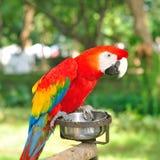 Ερυθρό Macaw (Ara Μακάο), ένας μεγάλος παπαγάλος Στοκ Εικόνα