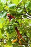 Ερυθρό macaw, Ara Μακάο ή Arakanga Στοκ Εικόνες