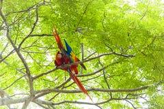 Ερυθρό macaw, Ara Μακάο ή Arakanga Στοκ εικόνες με δικαίωμα ελεύθερης χρήσης