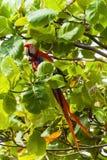 Ερυθρό macaw, Ara Μακάο ή Arakanga Στοκ εικόνα με δικαίωμα ελεύθερης χρήσης