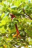 Ερυθρό macaw, Ara Μακάο ή Arakanga Στοκ φωτογραφία με δικαίωμα ελεύθερης χρήσης