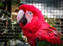 Ερυθρό Macaw Ara Μακάο στο κλουβί Στοκ φωτογραφία με δικαίωμα ελεύθερης χρήσης
