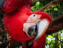 Ερυθρό Macaw Ara Μακάο στο κλουβί Στοκ εικόνες με δικαίωμα ελεύθερης χρήσης