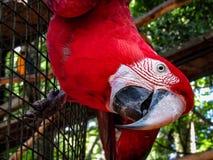 Ερυθρό Macaw Ara Μακάο στο κλουβί Στοκ Εικόνες