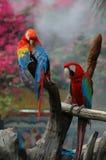 Ερυθρό Macaw (Ara Μακάο) Στοκ Εικόνα