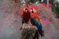 Ερυθρό Macaw (Ara Μακάο) Στοκ Φωτογραφίες