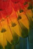 Ερυθρό macaw, Ara Μακάο Στοκ εικόνα με δικαίωμα ελεύθερης χρήσης