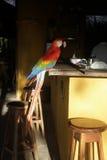 Ερυθρό macaw, Ara Μακάο Στοκ εικόνες με δικαίωμα ελεύθερης χρήσης