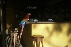 Ερυθρό macaw, Ara Μακάο Στοκ Εικόνες