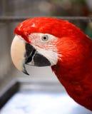 Ερυθρό Macaw (Ara Μακάο) Στοκ εικόνα με δικαίωμα ελεύθερης χρήσης