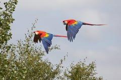 Ερυθρό Macaws κατά την πτήση Στοκ Φωτογραφία