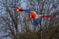 Ερυθρό Macaws κατά την πτήση Στοκ Εικόνες