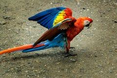 Ερυθρό Macaws που προσγειώνεται - Copan, Ονδούρα Στοκ Φωτογραφίες