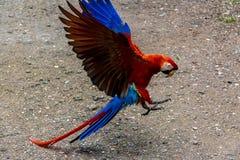 Ερυθρό Macaws που προσγειώνεται - Copan, Ονδούρα Στοκ Εικόνες