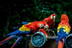Ερυθρό Macaws που τρώει - Copan, Ονδούρα Στοκ Φωτογραφία