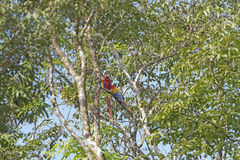 Ερυθρό Macaws σε ένα τροπικό δέντρο Στοκ φωτογραφία με δικαίωμα ελεύθερης χρήσης
