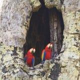 Ερυθρό Macaws (τετραγωνικό) Στοκ Εικόνες