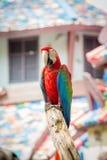 Ερυθρό Macaws Στοκ εικόνες με δικαίωμα ελεύθερης χρήσης