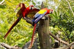 Ερυθρό Macaws Στοκ εικόνα με δικαίωμα ελεύθερης χρήσης
