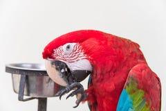 Ερυθρό Macaws Στοκ Φωτογραφίες