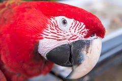 Ερυθρό Macaws Στοκ φωτογραφίες με δικαίωμα ελεύθερης χρήσης