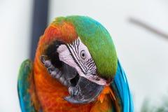 Ερυθρό Macaws Στοκ Φωτογραφία