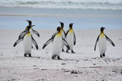 Ερχομός βασιλιάδων penguins της παραλίας στοκ εικόνα